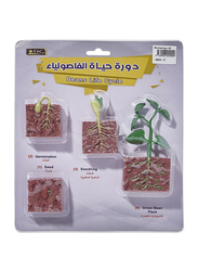 SBC Beans Life Cycle Educational Toy Model, 3+ Years, Brown/Green